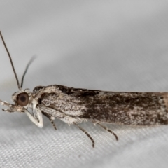 Unidentified Moth (Lepidoptera) (TBC) at Melba, ACT - 29 Nov 2020 by Bron