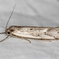 Philobota (genus) (Unidentified Philobota genus moths) at Melba, ACT - 28 Nov 2020 by Bron