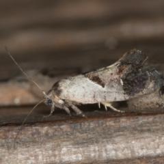 Eupselia holoxantha (A Twig Moth) at Melba, ACT - 28 Nov 2020 by Bron
