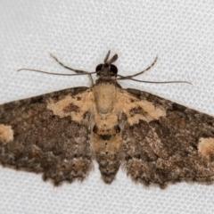 Chloroclystis pallidiplaga (White-shouldered Pug Moth) at Melba, ACT - 29 Nov 2020 by Bron