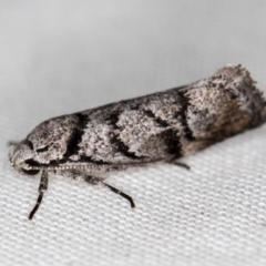 Lichenaula onychodes (A Xyloryctid moth) at Melba, ACT - 29 Nov 2020 by Bron
