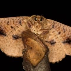 Aglaopus pyrrhata (Leaf Moth) at Melba, ACT - 29 Nov 2020 by Bron