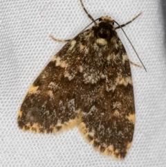 Halone sinuata (Rock Lichen Moth) at Melba, ACT - 29 Nov 2020 by Bron
