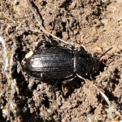 Seirotrana sp. (genus) (Darkling beetle) at Forde, ACT - 2 Apr 2021 by HarveyPerkins