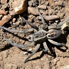 Tasmanicosa sp. (genus) (Unidentified Tasmanicosa wolf spider) at Forde, ACT - 2 Apr 2021 by HarveyPerkins