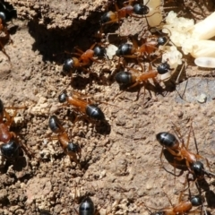 Camponotus consobrinus (Banded sugar ant) at Forde, ACT - 2 Apr 2021 by HarveyPerkins