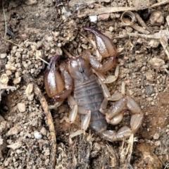 Urodacus manicatus (Black Rock Scorpion) at Forde, ACT - 2 Apr 2021 by HarveyPerkins