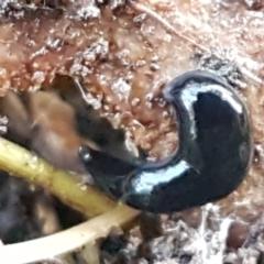 Parakontikia atrata (The Black planarian) at Bruce, ACT - 20 May 2021 by tpreston