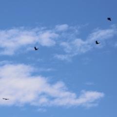 Corvus mellori (Little Raven) at Jerrabomberra, NSW - 20 May 2021 by RodDeb