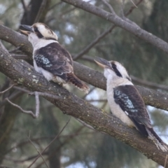 Dacelo novaeguineae (Laughing Kookaburra) at Jerrabomberra, NSW - 20 May 2021 by RodDeb
