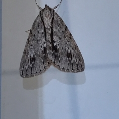 Chlenias banksiaria group (A Geometer moth) at Lyneham, ACT - 13 May 2021 by Tapirlord