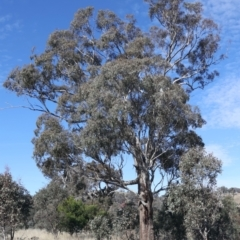 Eucalyptus melliodora (Yellow Box) at Forde, ACT - 20 May 2021 by jbromilow50