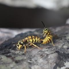 Vespula germanica (European wasp) at Aranda Bushland - 20 May 2021 by Tammy