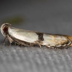 Ardozyga desmatra (A Gelechioid moth) at Melba, ACT - 27 Nov 2020 by Bron