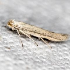 Tineidae (family) (Clothes moths (Tineidae)) at Melba, ACT - 27 Nov 2020 by Bron