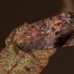 Eupselia tortriciformis (A Gelechioid moth) at Melba, ACT - 27 Nov 2020 by Bron