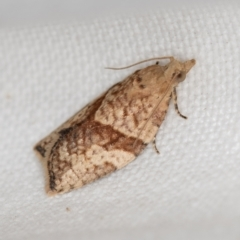 Epiphyas postvittana (Light Brown Apple Moth) at Melba, ACT - 27 Nov 2020 by Bron
