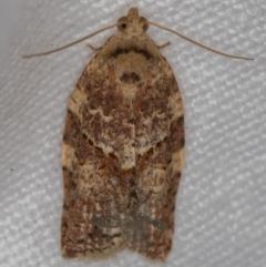 Epiphyas ashworthana (A Tortricid moth) at Melba, ACT - 26 Nov 2020 by Bron