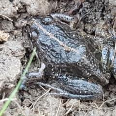 Limnodynastes tasmaniensis (Spotted Grass Frog) at O'Connor, ACT - 21 May 2021 by tpreston
