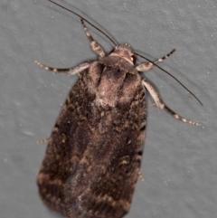 Proteuxoa provisional species 2 at Melba, ACT - 26 Nov 2020 by Bron