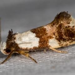 Placocosma resumptella (A Concealer moth) at Melba, ACT - 26 Nov 2020 by Bron