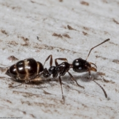 Myrmecorhynchus emeryi (Possum Ant) at Downer, ACT - 21 May 2021 by Roger