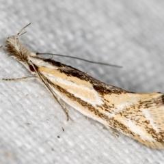 Thema macroscia (A concealer moth) at Melba, ACT - 25 Nov 2020 by Bron