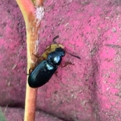 Necrobia rufipes (TBC) at Murrumbateman, NSW - 21 May 2021 by SimoneC