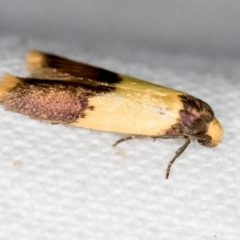 Heteroteucha dichroella (A concealer moth) at Melba, ACT - 25 Nov 2020 by Bron