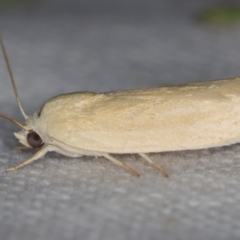 Unidentified Moth (Lepidoptera) (TBC) at Melba, ACT - 25 Nov 2020 by Bron