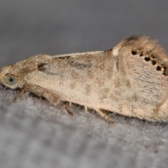 Eupselia melanostrepta (A Twig moth) at Melba, ACT - 25 Nov 2020 by Bron