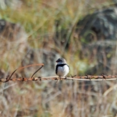Stagonopleura guttata (Diamond Firetail) at Woodstock Nature Reserve - 22 May 2021 by wombey