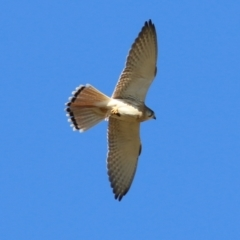 Falco cenchroides (Nankeen Kestrel) at Federation Hill - 22 May 2021 by Kyliegw