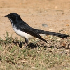 Rhipidura leucophrys (Willie Wagtail) at Wodonga - 22 May 2021 by Kyliegw