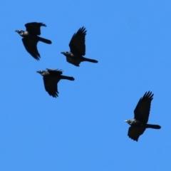 Corvus mellori (Little Raven) at Wodonga - 22 May 2021 by Kyliegw