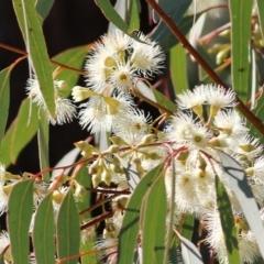 Eucalyptus melliodora (Yellow Box) at Wodonga - 22 May 2021 by Kyliegw