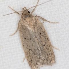 Chezala privatella (A Concealer moth) at Melba, ACT - 24 Nov 2020 by Bron