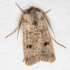 Agrotis porphyricollis (Variable Cutworm) at Melba, ACT - 24 Nov 2020 by Bron