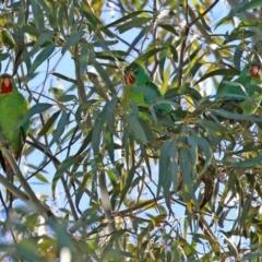 Lathamus discolor (Swift Parrot) at Kambah, ACT - 22 May 2021 by RodDeb