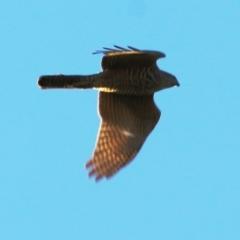 Accipiter cirrocephalus (Collared Sparrowhawk) at Wodonga - 22 May 2021 by Kyliegw