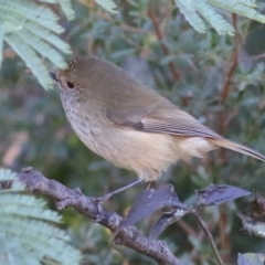 Acanthiza pusilla (Brown Thornbill) at Ward Morrison Park - 22 May 2021 by Kyliegw