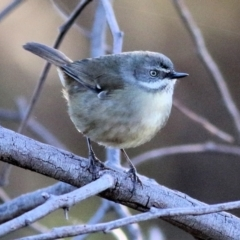 Sericornis frontalis (White-browed Scrubwren) at Ward Morrison Park - 22 May 2021 by Kyliegw