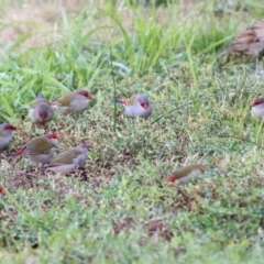 Neochmia temporalis (Red-browed Finch) at Ewart Brothers Reserve - 22 May 2021 by Kyliegw