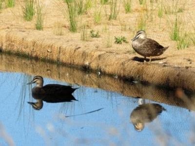 Anas superciliosa (Pacific Black Duck) at Kambah, ACT - 22 May 2021 by RodDeb