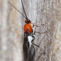 Braconidae sp. (family) (Unidentified braconid wasp) at ANBG - 18 May 2021 by TimL