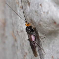 Callibracon capitator (White Flank Black Braconid Wasp) at ANBG - 18 May 2021 by TimL