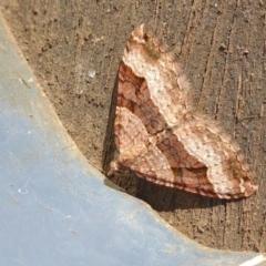 Epyaxa subidaria (Subidaria Moth) at Yass River, NSW - 20 May 2021 by SenexRugosus