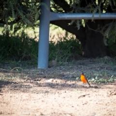 Petroica phoenicea (Flame Robin) at Murrumbateman, NSW - 21 May 2021 by SallyandPeter