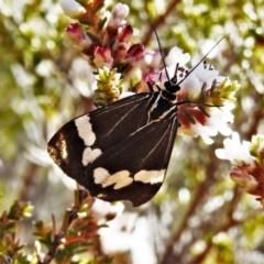 Nyctemera amicus (Senecio or Magpie moth) at Tennent, ACT - 21 May 2021 by JohnBundock