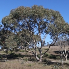 Eucalyptus pauciflora subsp. pauciflora (White Sally, Snow Gum) at Rendezvous Creek, ACT - 22 May 2021 by jbromilow50